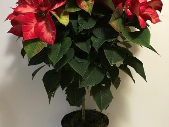 Poinsettia Standard