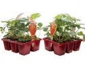 306 Strawberry