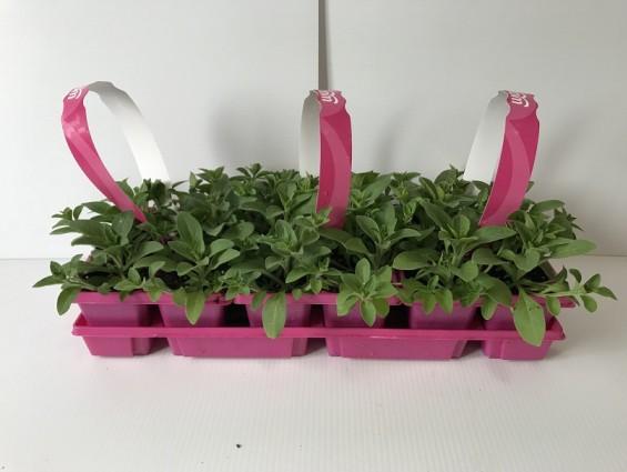 6 Pack Wave Petunia