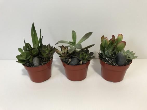 Cactus/ Bonzi
