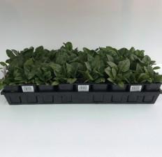 606 Vegetable