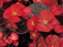 Begonia, Harmony
