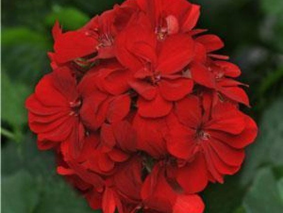 "4"" Ivy Geranium ""Great Balls of Fire"""
