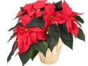 Poinsettias/                 Xmas items