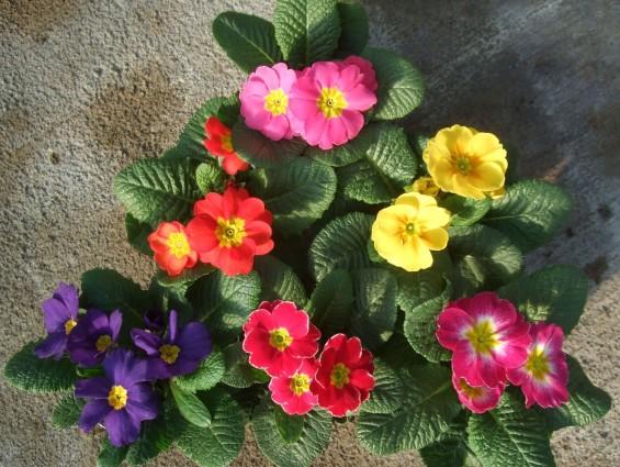 """4"""" Primula"""